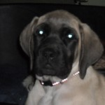 Karma English Mastiff