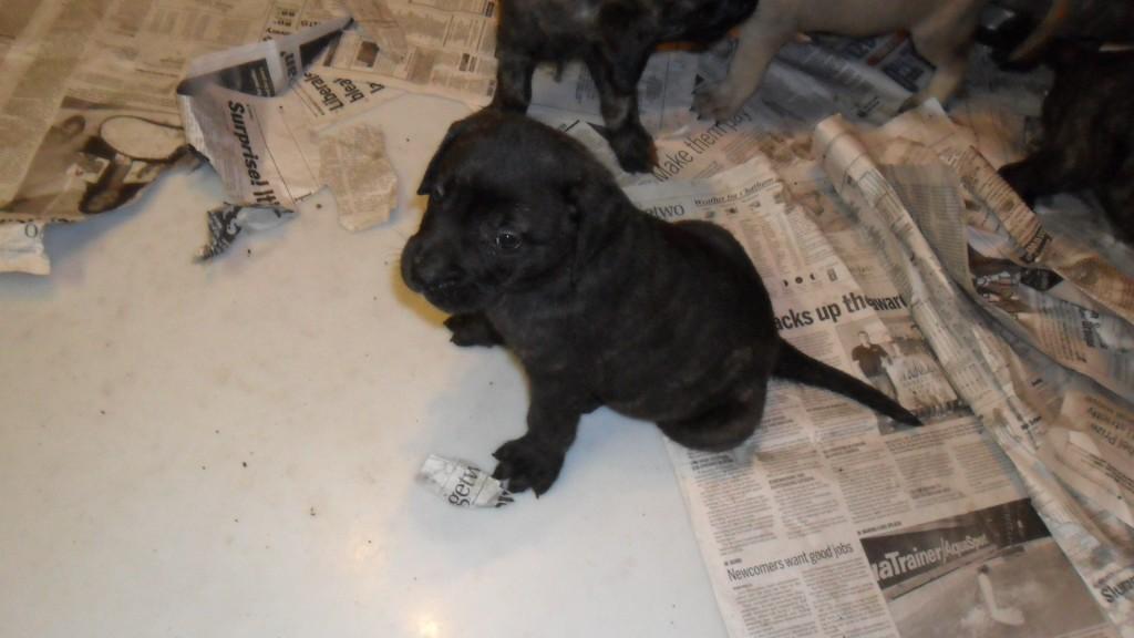 Presa Canario Mastiff