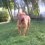 King (Dogue de Bordeaux)