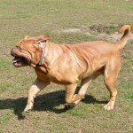 Boss (Dogue de Bordeaux)